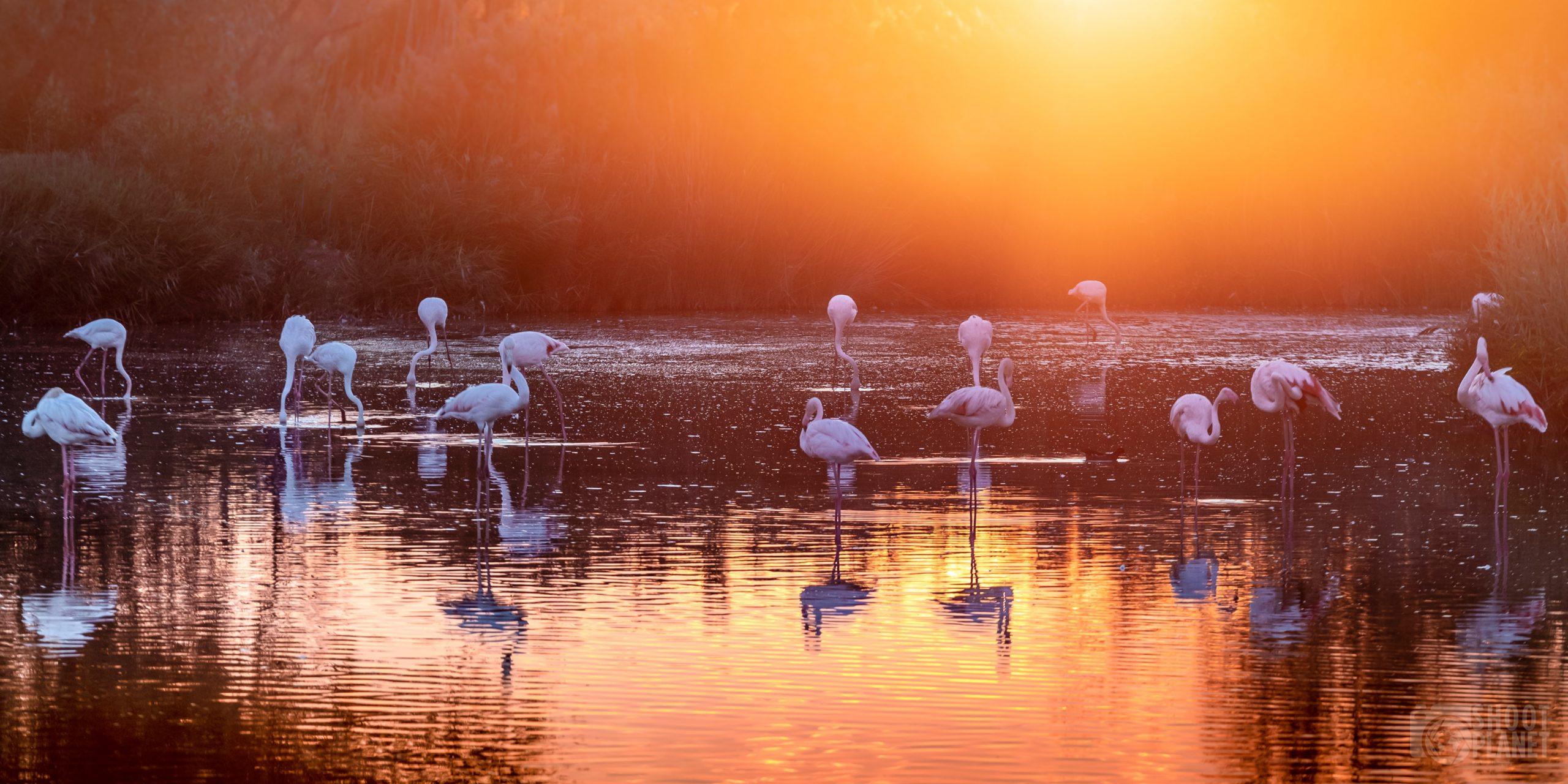 Flamingos sunset, Pont de Gau, Camargue France
