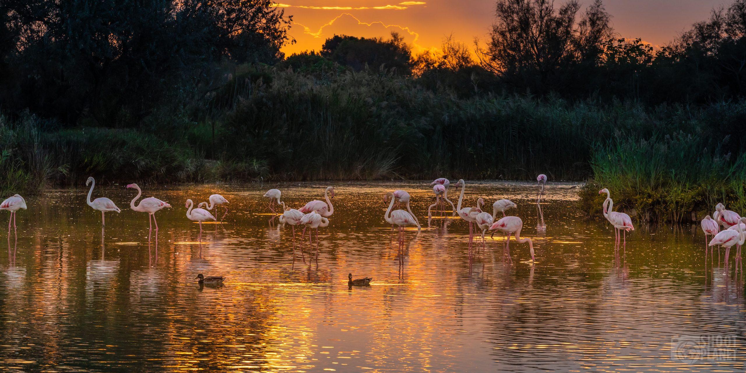 Flamingos sunset, Pont de Gau reserve, Camargue France