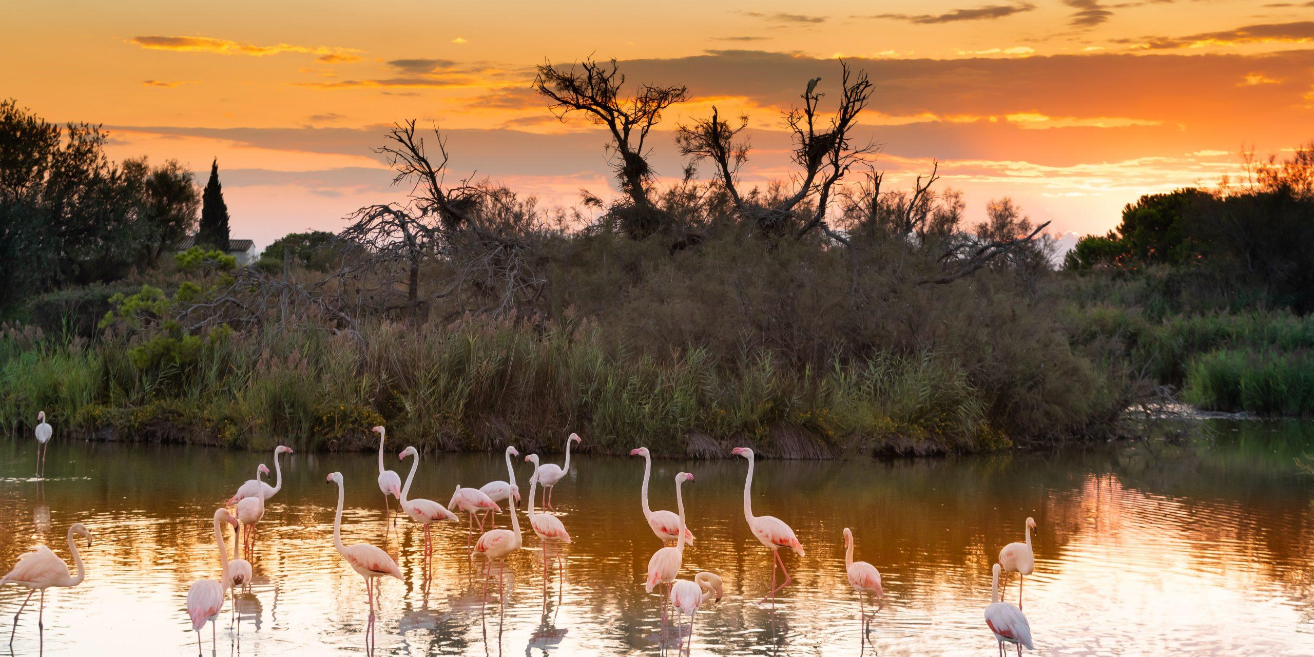 Flamingos, Pont de Gau reserve, Camargue France